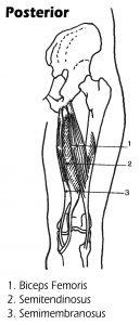Posterior View of Leg