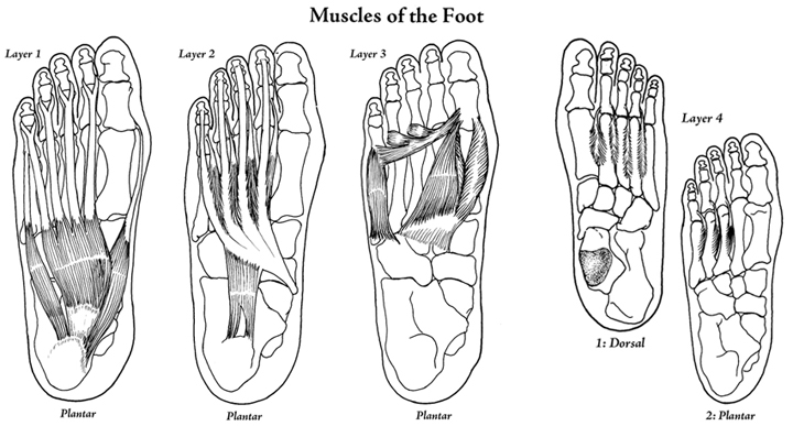 Muscles of the Foot - Layers 1-4