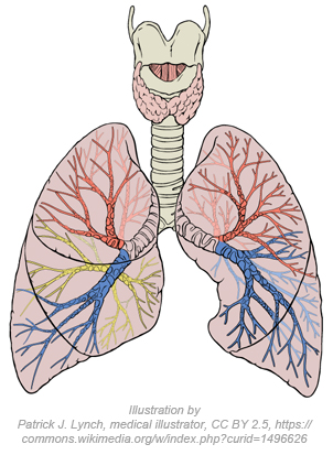 Lungs diagram detailed