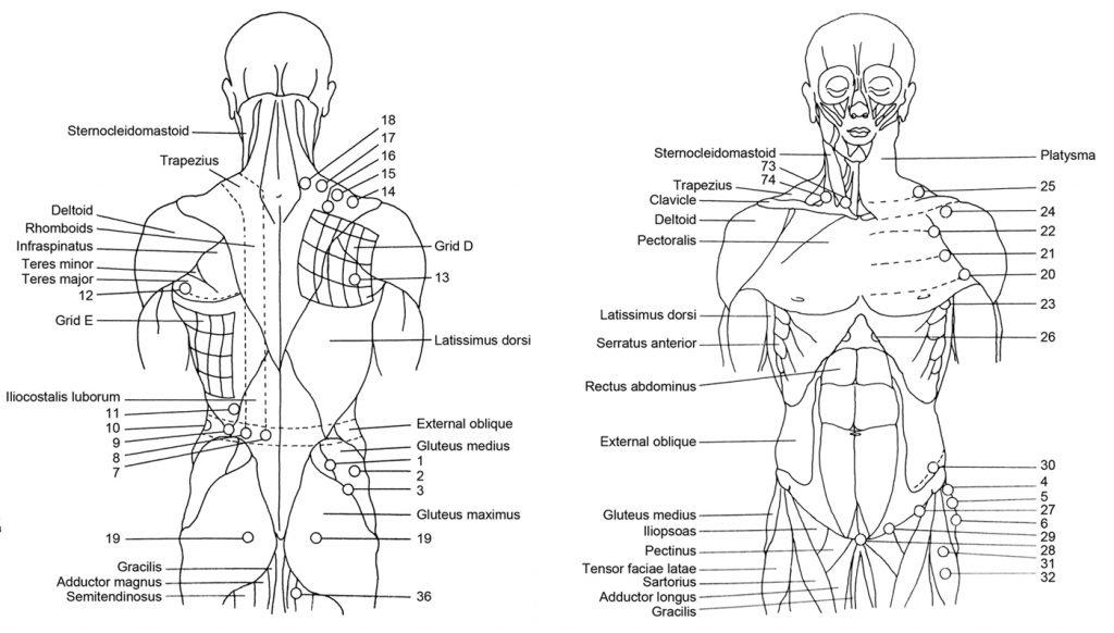 Front and back torsos
