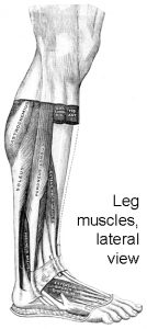 Leg muscles, lateral view