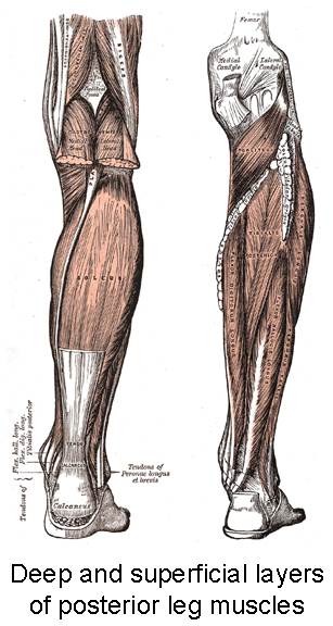 Posterior Leg Muscles to Foot