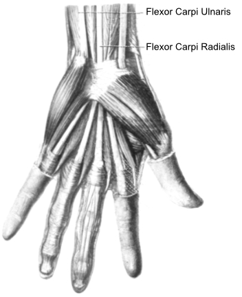 flexor muscles of the hand